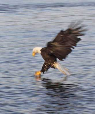 Sharing the fish with a Bald Eagle