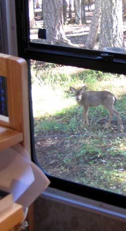 A fawn nibbles near the rear window in our fifth wheel